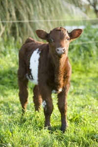 Calf looking at camera